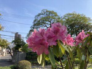石楠花,シャクナゲ