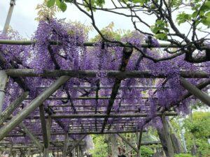 亀戸天神社,藤まつり,江東区