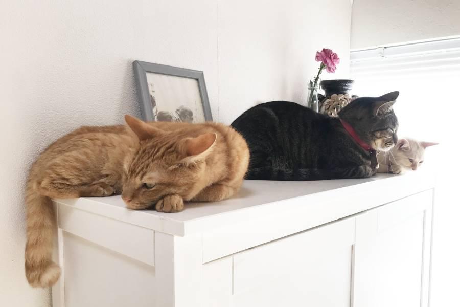 棚の上に寝そべる3匹の猫